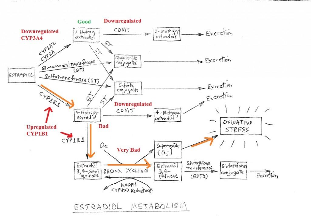 Estrogen estradiol metabolism CYP3A4 quinone oxidative CYP1B1