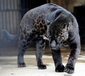 black leopard cat