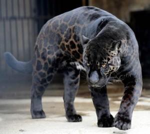 black leopard cat