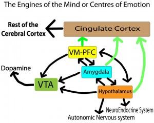 Dopamine Cortex VM Amygdala Hypothalamus
