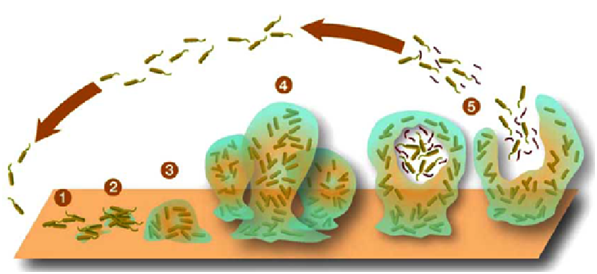 lifecycle - biofilm