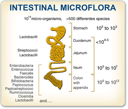 Intestinal Microflora Resistant Starch