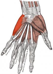 Musculus_abductor_digiti_minimi_(Hand)